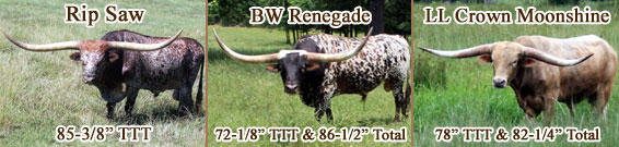 Registered Texas Longhorn Cattle